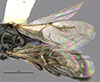 http://mczbase.mcz.harvard.edu/specimen_images/entomology/large/MCZ-ENT00031224_Anisepyris_nigripes_fwg.jpg