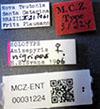 http://mczbase.mcz.harvard.edu/specimen_images/entomology/large/MCZ-ENT00031224_Anisepyris_nigripes_lbs.jpg