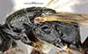 http://mczbase.mcz.harvard.edu/specimen_images/entomology/large/MCZ-ENT00031224_Anisepyris_nigripes_thl.jpg