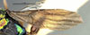 http://mczbase.mcz.harvard.edu/specimen_images/entomology/large/MCZ-ENT00031226_Anisepyris_jocundus_fwg.jpg