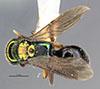 http://mczbase.mcz.harvard.edu/specimen_images/entomology/large/MCZ-ENT00031226_Anisepyris_jocundus_had.jpg
