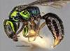 http://mczbase.mcz.harvard.edu/specimen_images/entomology/large/MCZ-ENT00031226_Anisepyris_jocundus_hal.jpg