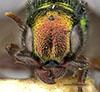 http://mczbase.mcz.harvard.edu/specimen_images/entomology/large/MCZ-ENT00031226_Anisepyris_jocundus_hef.jpg
