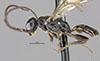 http://mczbase.mcz.harvard.edu/specimen_images/entomology/large/MCZ-ENT00031235_Apenesia_cusco_hal.jpg