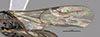 http://mczbase.mcz.harvard.edu/specimen_images/entomology/large/MCZ-ENT00031236_Apenesia_juncea_fwg.jpg