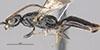 http://mczbase.mcz.harvard.edu/specimen_images/entomology/large/MCZ-ENT00031236_Apenesia_juncea_hal.jpg