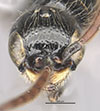 http://mczbase.mcz.harvard.edu/specimen_images/entomology/large/MCZ-ENT00031236_Apenesia_juncea_hef.jpg