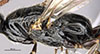 http://mczbase.mcz.harvard.edu/specimen_images/entomology/large/MCZ-ENT00031236_Apenesia_juncea_thl.jpg