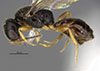 http://mczbase.mcz.harvard.edu/specimen_images/entomology/large/MCZ-ENT00031238_Dissomphalus_connubialis_hal.jpg