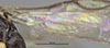 http://mczbase.mcz.harvard.edu/specimen_images/entomology/large/MCZ-ENT00031238_Dissomphalus_connubialis_hwg.jpg