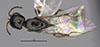 http://mczbase.mcz.harvard.edu/specimen_images/entomology/large/MCZ-ENT00031239_Dissomphalus_mirabilis_had.jpg