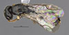 http://mczbase.mcz.harvard.edu/specimen_images/entomology/large/MCZ-ENT00031240_Dissomphalus_dumosus_had.jpg