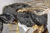 http://mczbase.mcz.harvard.edu/specimen_images/entomology/large/MCZ-ENT00031241_Pseudisobrachium_calidum_thl.jpg