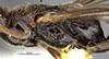 http://mczbase.mcz.harvard.edu/specimen_images/entomology/large/MCZ-ENT00031243_Pseudisobrachium_castaneiceps_thl.jpg