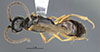 http://mczbase.mcz.harvard.edu/specimen_images/entomology/large/MCZ-ENT00031244_Pseudisobrachium_porteri_had.jpg