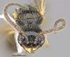 http://mczbase.mcz.harvard.edu/specimen_images/entomology/large/MCZ-ENT00031244_Pseudisobrachium_porteri_hef.jpg