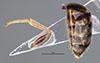 http://mczbase.mcz.harvard.edu/specimen_images/entomology/large/MCZ-ENT00031245_Pseudisobrachium_steinbachi_bop.jpg