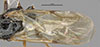http://mczbase.mcz.harvard.edu/specimen_images/entomology/large/MCZ-ENT00031245_Pseudisobrachium_steinbachi_fwg.jpg