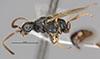 http://mczbase.mcz.harvard.edu/specimen_images/entomology/large/MCZ-ENT00031245_Pseudisobrachium_steinbachi_hal.jpg