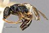 http://mczbase.mcz.harvard.edu/specimen_images/entomology/large/MCZ-ENT00031246_Anisepyris_trinitatis_hal.jpg