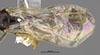 http://mczbase.mcz.harvard.edu/specimen_images/entomology/large/MCZ-ENT00031248_Pseudisobrachium_werneri_fwg.jpg