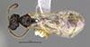 http://mczbase.mcz.harvard.edu/specimen_images/entomology/large/MCZ-ENT00031248_Pseudisobrachium_werneri_had.jpg