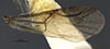 http://mczbase.mcz.harvard.edu/specimen_images/entomology/large/MCZ-ENT00031253_Calyozina_mexicana_fwg.jpg