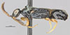 http://mczbase.mcz.harvard.edu/specimen_images/entomology/large/MCZ-ENT00031253_Calyozina_mexicana_hal.jpg