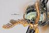 http://mczbase.mcz.harvard.edu/specimen_images/entomology/large/MCZ-ENT00031253_Calyozina_mexicana_hef.jpg