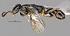 http://mczbase.mcz.harvard.edu/specimen_images/entomology/large/MCZ-ENT00031254_Epyris_crassipes_hal.jpg