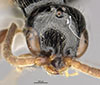 http://mczbase.mcz.harvard.edu/specimen_images/entomology/large/MCZ-ENT00031254_Epyris_crassipes_hef.jpg