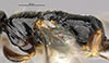 http://mczbase.mcz.harvard.edu/specimen_images/entomology/large/MCZ-ENT00031254_Epyris_crassipes_thl.jpg