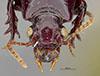 http://mczbase.mcz.harvard.edu/specimen_images/entomology/large/MCZ-ENT00031263_Clivina_newporta_hef.jpg