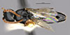 http://mczbase.mcz.harvard.edu/specimen_images/entomology/large/MCZ-ENT00031600_Epyris_connexus_had.jpg