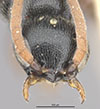 http://mczbase.mcz.harvard.edu/specimen_images/entomology/large/MCZ-ENT00031600_Epyris_connexus_hef.jpg