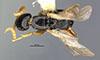 http://mczbase.mcz.harvard.edu/specimen_images/entomology/large/MCZ-ENT00031613_Epyris_luteicornis_had.jpg
