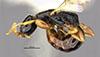 http://mczbase.mcz.harvard.edu/specimen_images/entomology/large/MCZ-ENT00031613_Epyris_luteicornis_hal.jpg