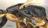 http://mczbase.mcz.harvard.edu/specimen_images/entomology/large/MCZ-ENT00031613_Epyris_luteicornis_thl.jpg