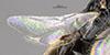 http://mczbase.mcz.harvard.edu/specimen_images/entomology/large/MCZ-ENT00031614_Epyris_nigriculus_fwg.jpg