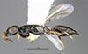 http://mczbase.mcz.harvard.edu/specimen_images/entomology/large/MCZ-ENT00031614_Epyris_nigriculus_hal.jpg