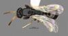 http://mczbase.mcz.harvard.edu/specimen_images/entomology/large/MCZ-ENT00031615_Epyris_pusillus_had.jpg