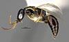 http://mczbase.mcz.harvard.edu/specimen_images/entomology/large/MCZ-ENT00031615_Epyris_pusillus_hal.jpg
