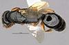 http://mczbase.mcz.harvard.edu/specimen_images/entomology/large/MCZ-ENT00031616_Epyris_angustatus_had.jpg