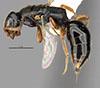 http://mczbase.mcz.harvard.edu/specimen_images/entomology/large/MCZ-ENT00031616_Epyris_angustatus_hal.jpg
