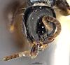 http://mczbase.mcz.harvard.edu/specimen_images/entomology/large/MCZ-ENT00031617_Epyris_hirsutus_hef.jpg