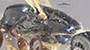 http://mczbase.mcz.harvard.edu/specimen_images/entomology/large/MCZ-ENT00031617_Epyris_hirsutus_thl.jpg