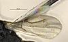 http://mczbase.mcz.harvard.edu/specimen_images/entomology/large/MCZ-ENT00031618_Epyris_sculleni_fwg.jpg