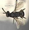 http://mczbase.mcz.harvard.edu/specimen_images/entomology/large/MCZ-ENT00031618_Epyris_sculleni_had.jpg