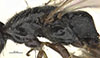 http://mczbase.mcz.harvard.edu/specimen_images/entomology/large/MCZ-ENT00031618_Epyris_sculleni_thl.jpg