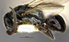 http://mczbase.mcz.harvard.edu/specimen_images/entomology/large/MCZ-ENT00031619_Epyris_sepulchralis_hal.jpg